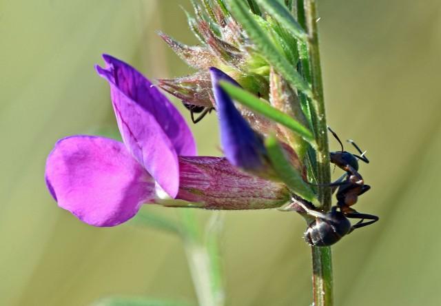 Ants on Common vetch (Vicia satica)