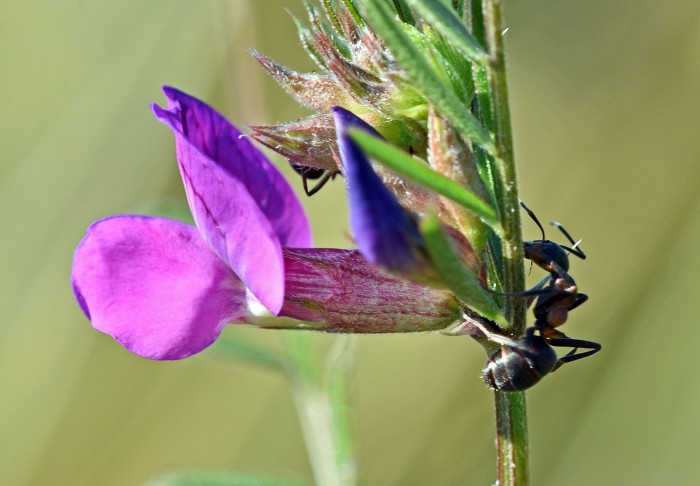 Ants on Common vetch (Vicia satica)