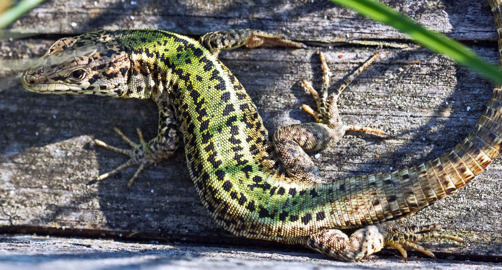 Bocage's Wall Lizard (Podarcis bocagei)