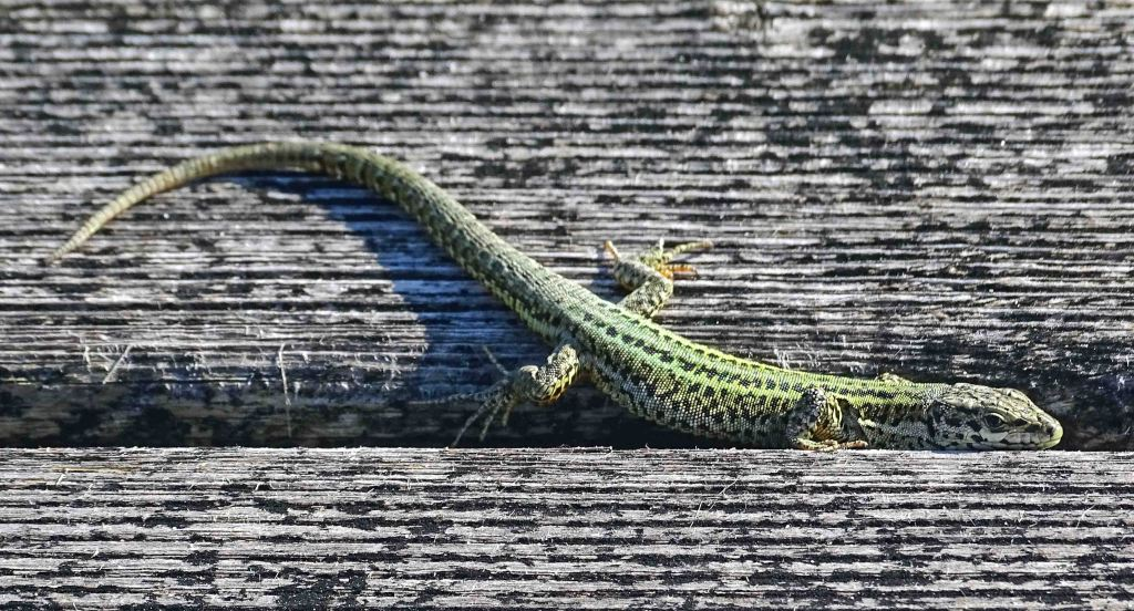 Bocage's Wall Lizard (Podarcis bocagei) on a wooden broadwalk