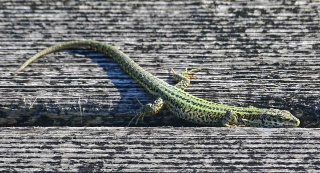 Bocage's Wall Lizard (Podarcis bocagei) on a wooden broadwalk