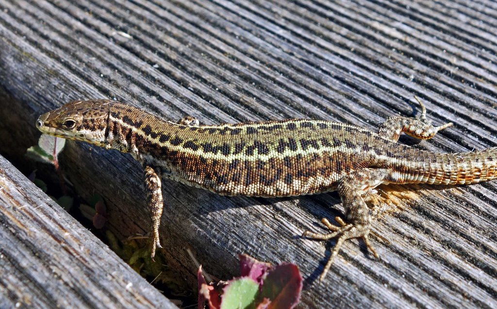 Bocage's Wall Lizard, Podarcis bocagei (male)