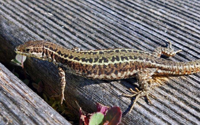 Bocage's Wall Lizard, Podarcis bocagei (male)