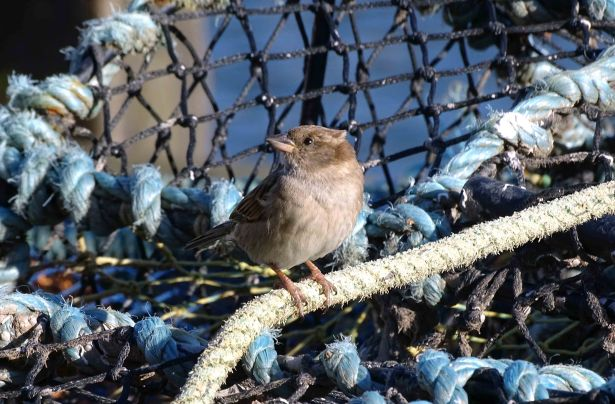 House sparrow (Passer domesticus) female on lobster pot