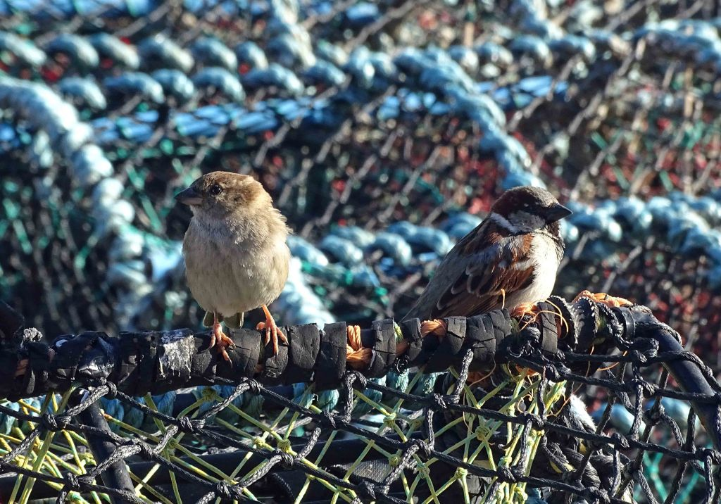 House sparrows (Passer domesticus) male and female on lobster pot or creel