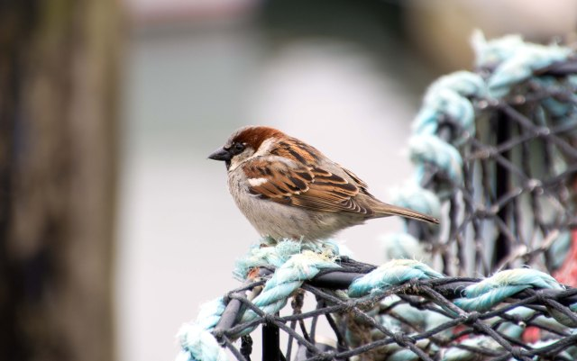 House sparrow (Passer domesticus) male on lobster or crab pot