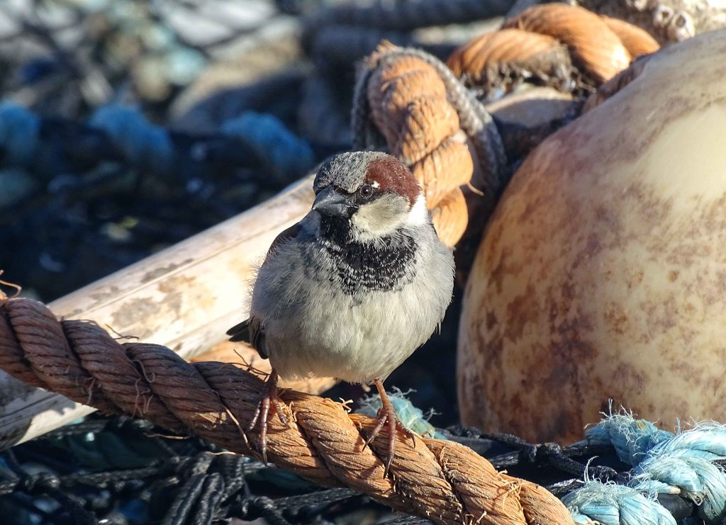 House sparrow (Passer domesticus) male on lobster pot, Scarborough