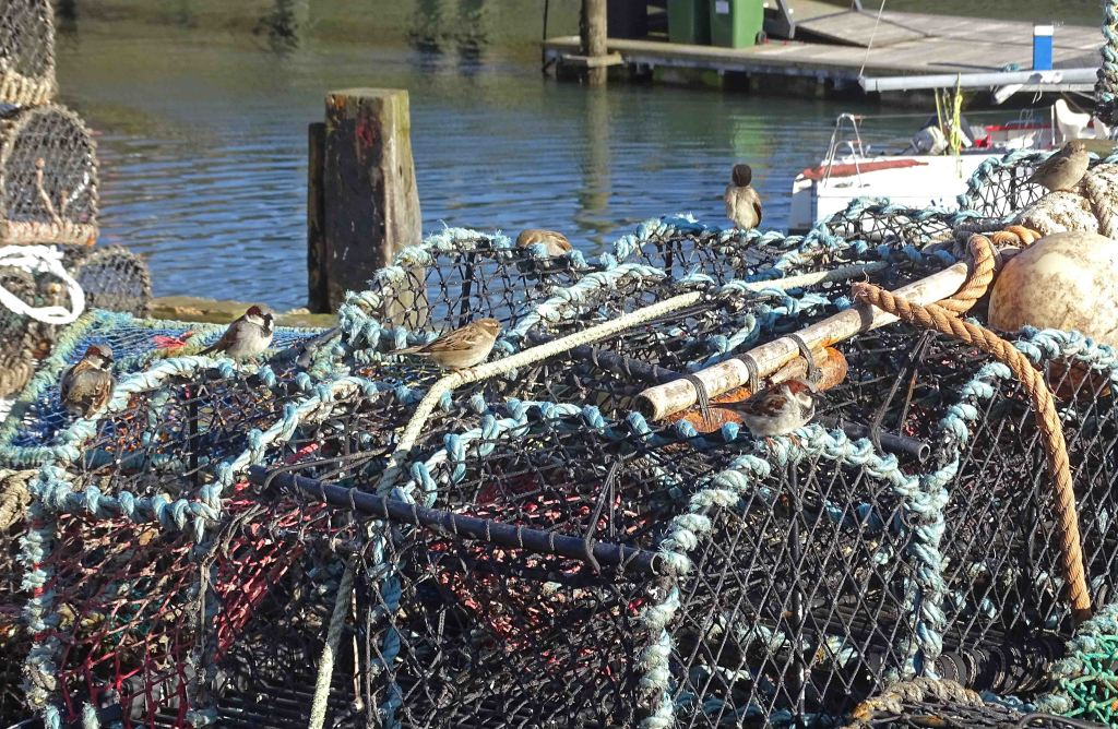House sparrows (Passer domesticus) on lobster pots. Scarborough