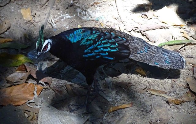 Palawan peacock-pheasant (Polyplectron napoleonis)