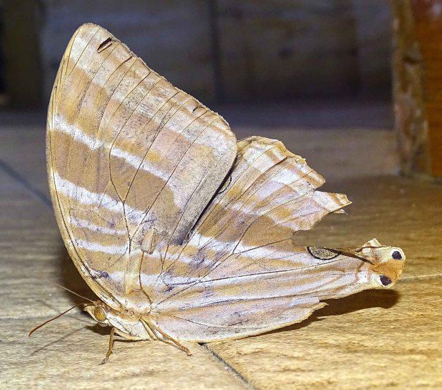 palmking-amathusia-phidippus-palawanus-pecked-on-eyespot1