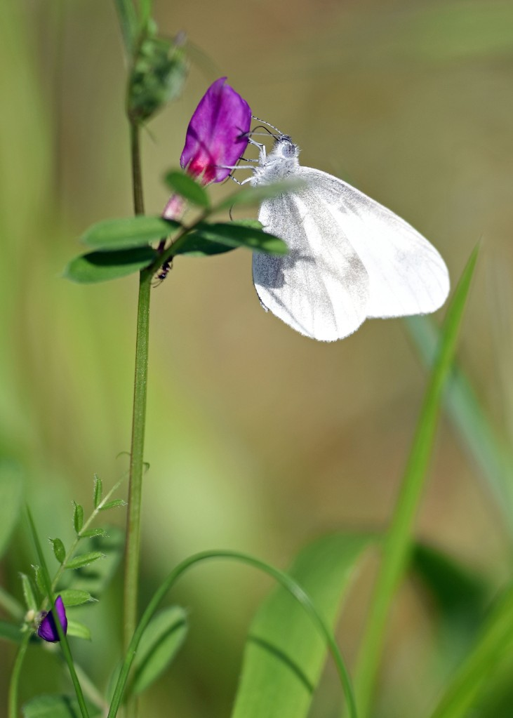 Wood white butterfly (Leptidea sinapis) on Common vetch (plus ant!)
