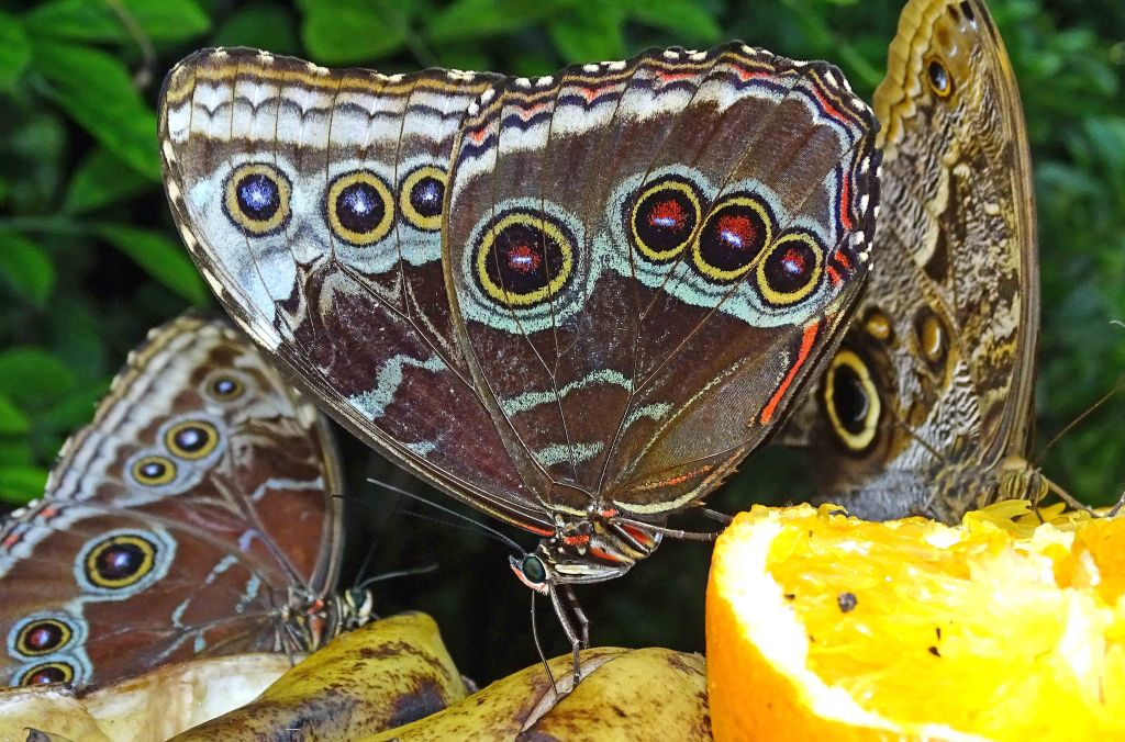 blue-morpho-morpho-peleides-feeding-on-oranges in a butterfly house
