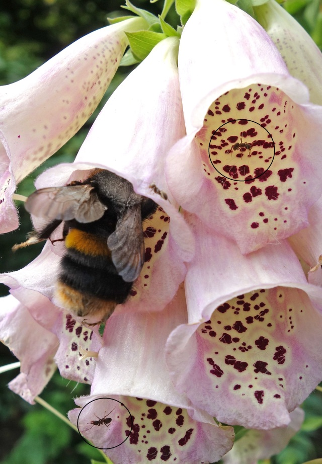 Bombus terrestris queen visiting Digitalis flowers with ants outlined