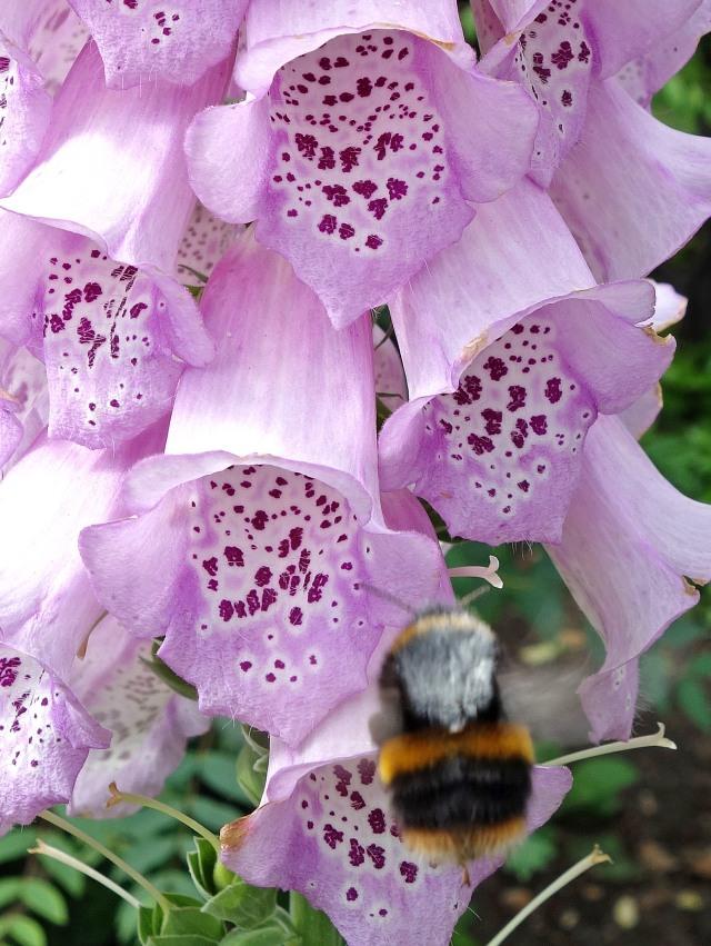 Bombus terrestris queen visiting Digitalis flowers