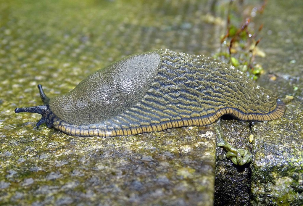 Common Garden Slug (Arion distinctus) side view showing mantle, and stripy skirt running along the bottom of the foot