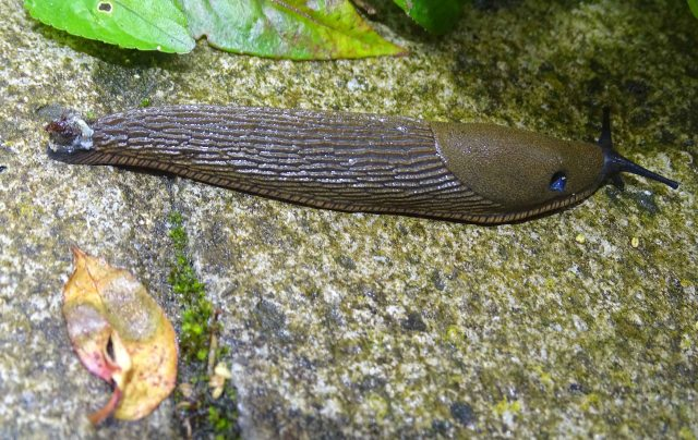 Common Garden Slug (Arion distinctus) with pneumostome