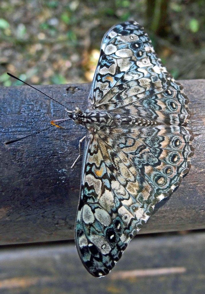 Epinome cracker (Hamadryas epinone) from Argentina