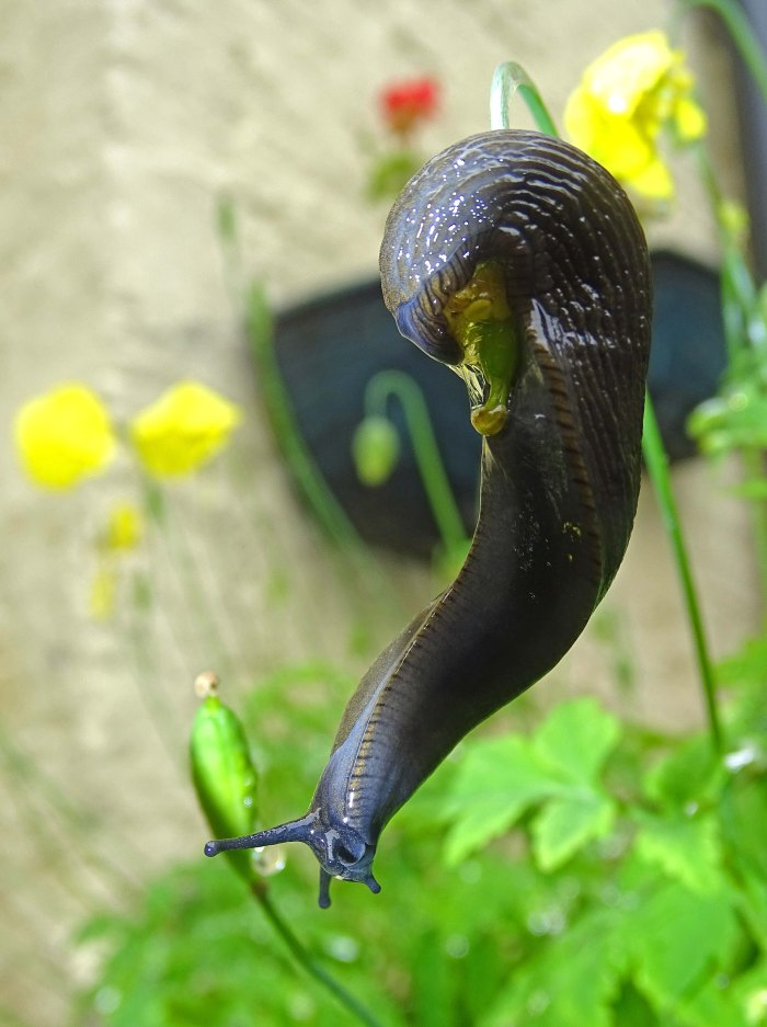 Common Garden Slug (Arion distinctus) hanging from stem