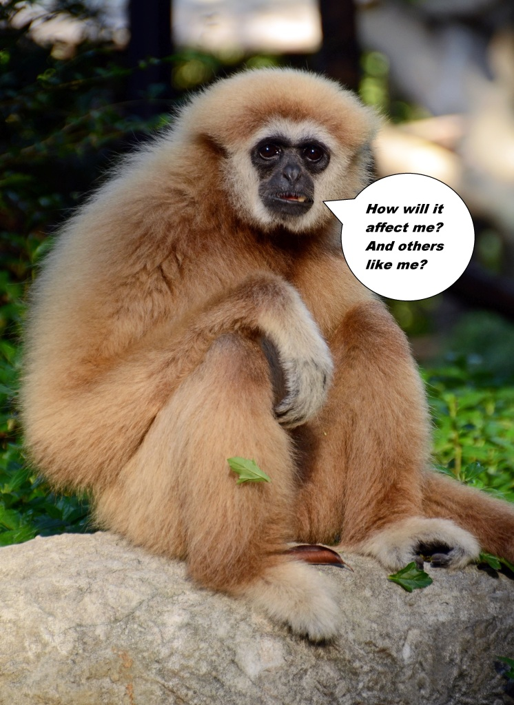 lar or white-handed gibbon (Hylobates lar) looking pensive.
