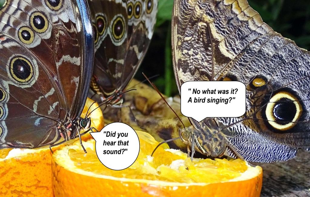 Blue morpho (Morpho peleides) and Owl butterfly (Caligo atreus)