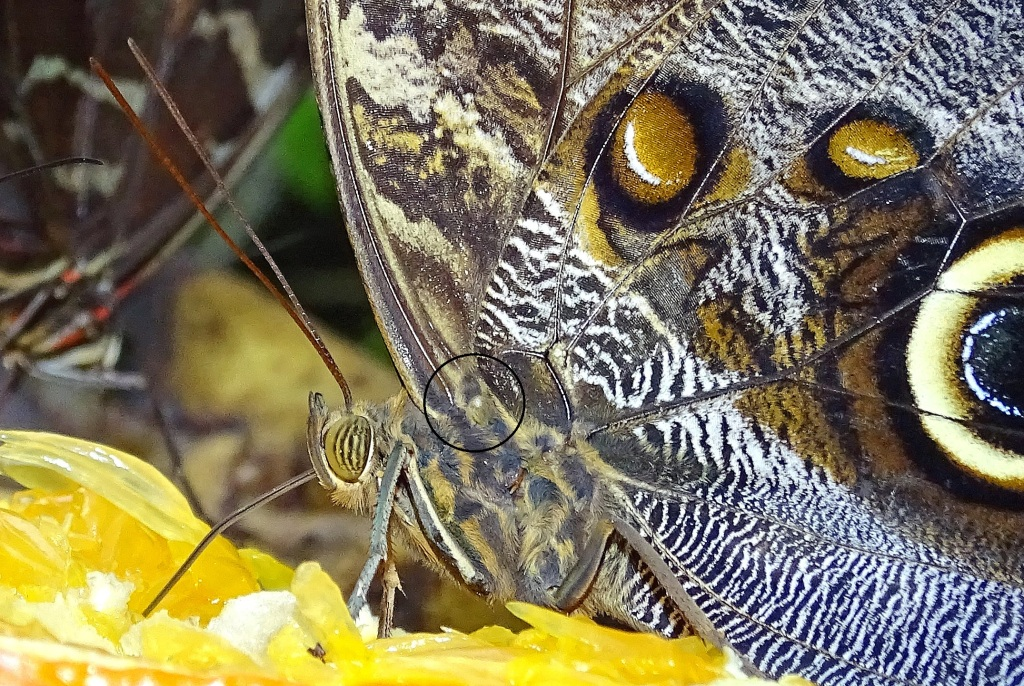 Owl butterfly (Caligo atreus) - approximate location of Vogel's organ