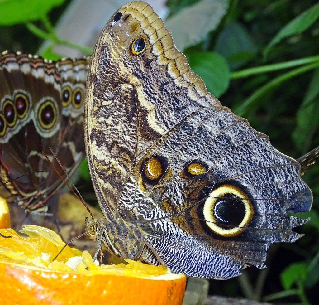Owl butterfly (Caligo atreus) feeding on oranges in a butterfly house