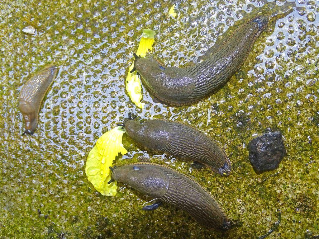 Slugs feeding