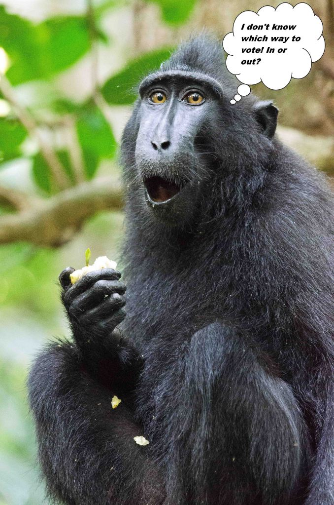 Crested-black macaque looking surprised or astonished?