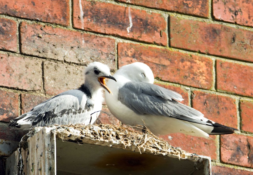 Black-legged kittiwake chick on 13th July