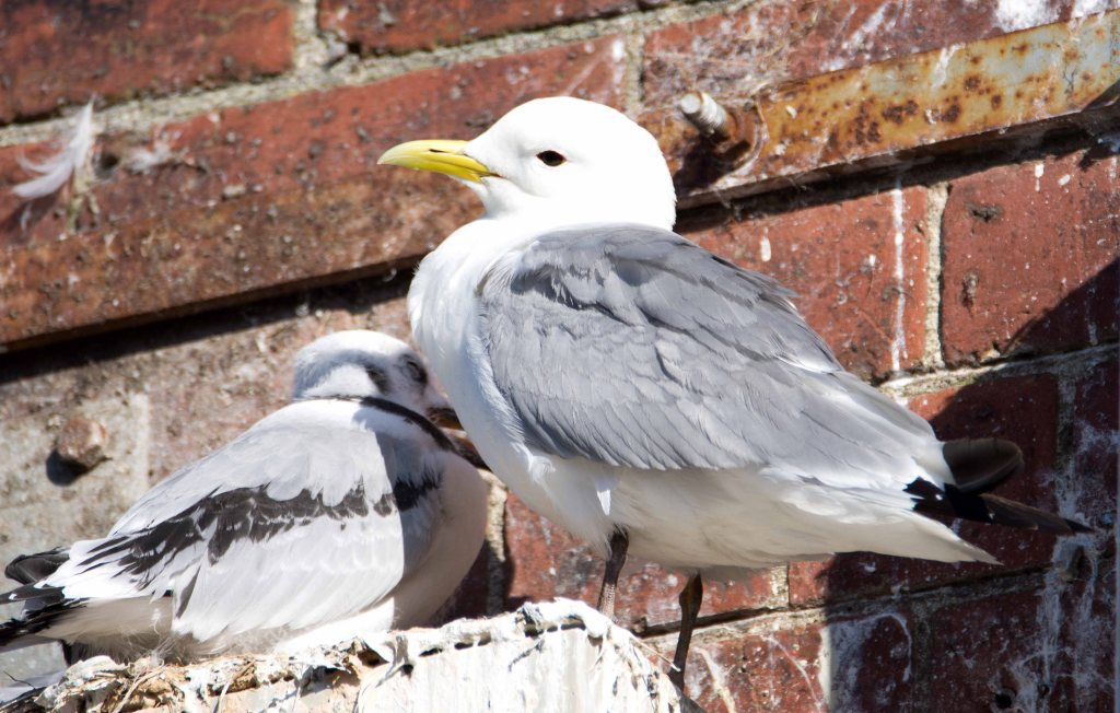 Black-legged kittiwake parent and chick on 20th July, Scarborough harbour
