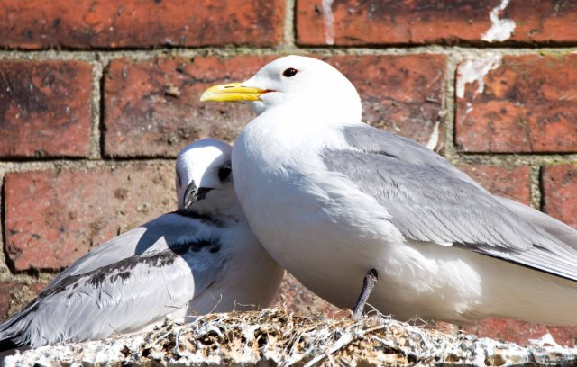 Black-legged kittiwake parent and chick on 20th July in Scarborough