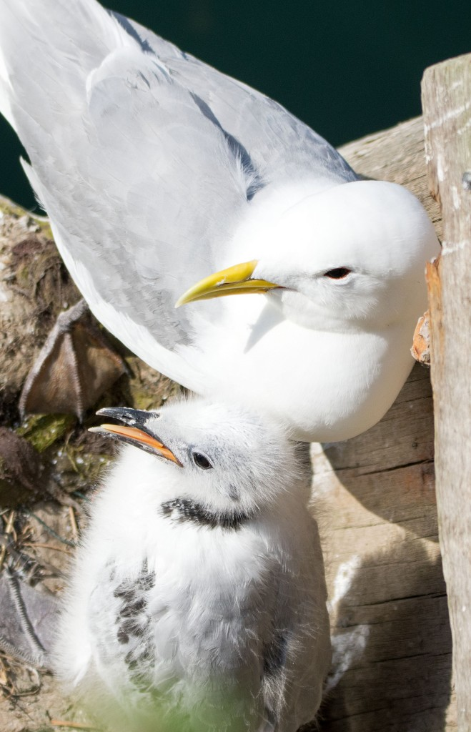 Black-legged kittiwake parent and chick on 20 July, Scarborough harbour