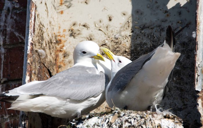 Black-legged kittiwakes (Rissa tridactyla) bonding on return to nest