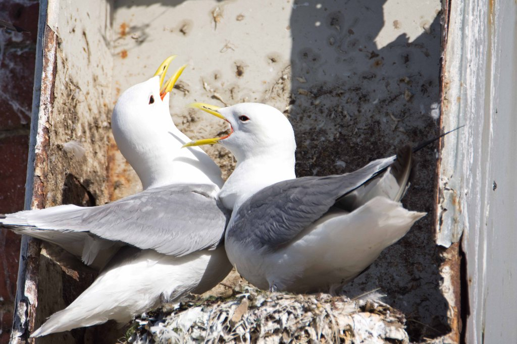 Black-legged kittiwakes (Rissa tridactyla) greeting each other on return to nest