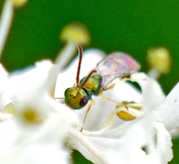 Close up of chalcid wasp possibly Cecidostiba fungosa