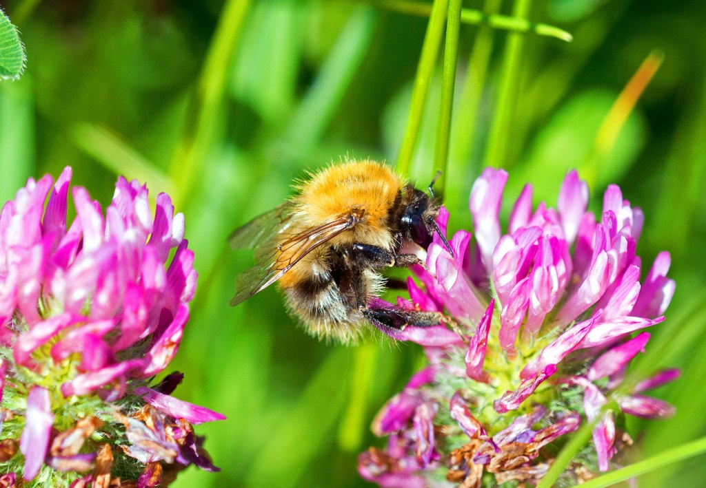Common Carder Bee (Bombus pascuorum) on Sea vetch