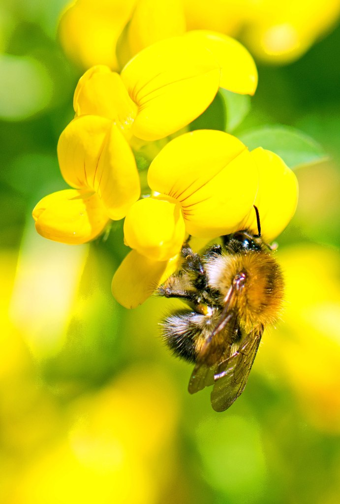 common carder bee (Bombus pascuorum) on Birds-foot-trefoil