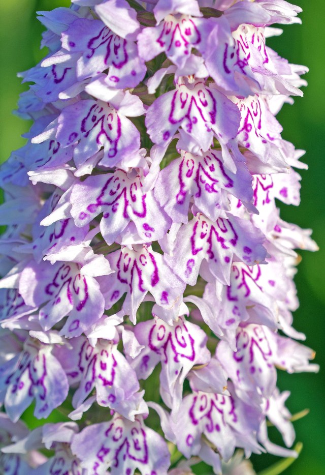 Common spotted orchid (Dactylorhiza fuchsii) 3 July 2016