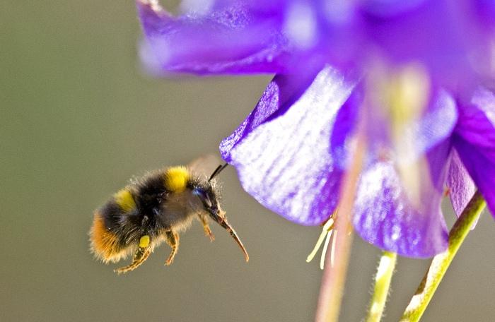 Early bumblebee (Bombus pratorum) with tongue showing