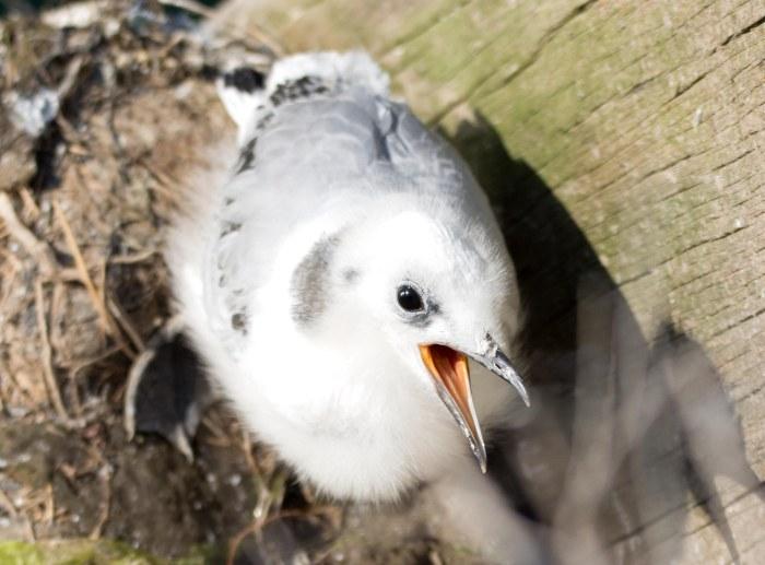 Kittiwake chick on 20th July