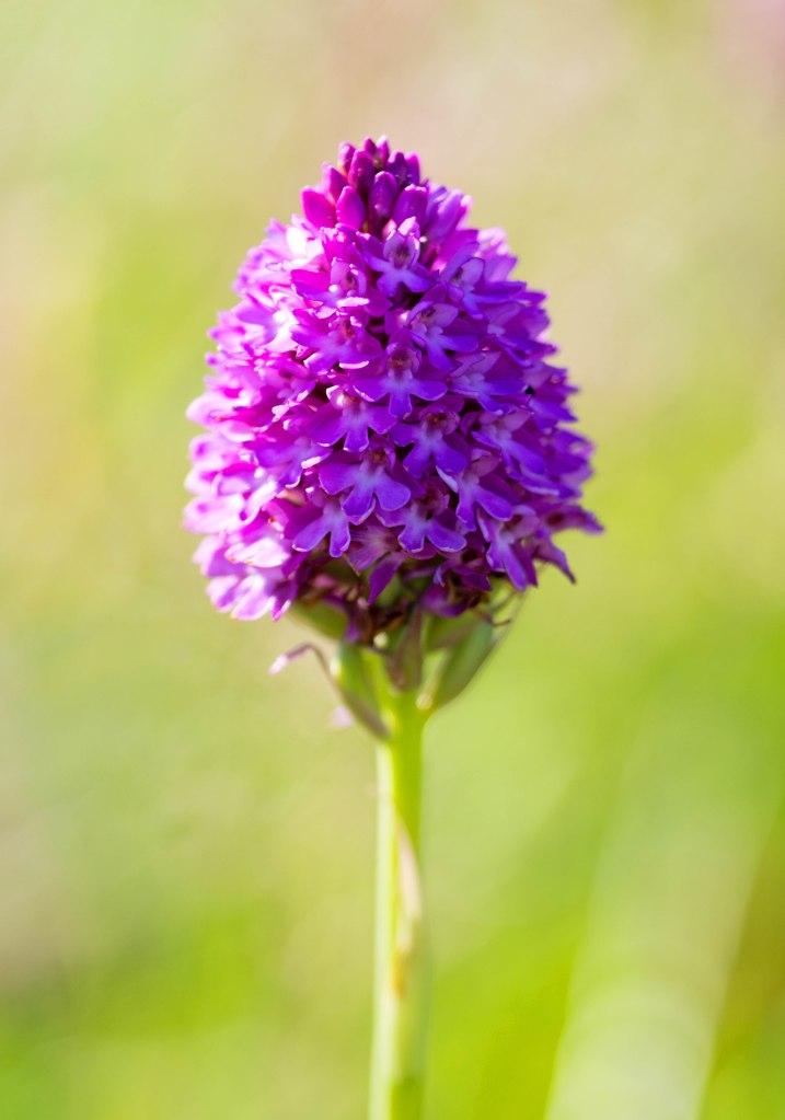 Pyramidal orchid (Anacamptis pyramidalis) on 19th July 2016