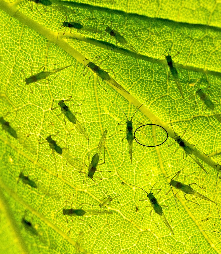 Sycamore aphids (Drepanosiphum platanoidis) close up of spaced out gregariousness with legs and antennae touching