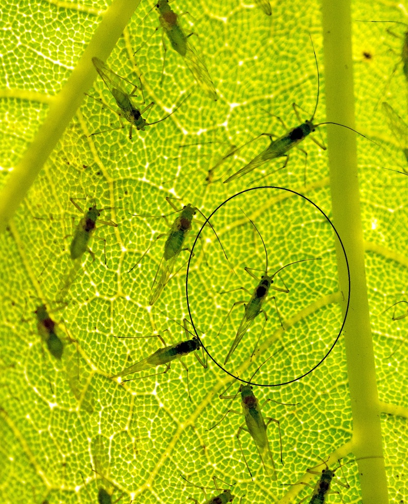 Approximate 'tactile envelope' of a Sycamore aphid (Drepanosiphum platanoidis)
