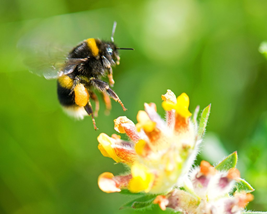 White-tailed bumblebee (Bombus lucorum) with pollen sac landing on kidney vetch