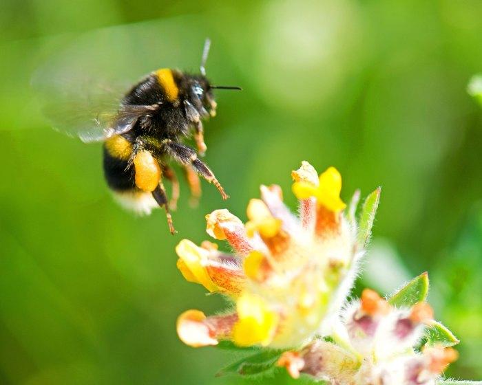 White-tailed bumblebee (Bombus lucorum) with pollen sac landing on kidney vetch