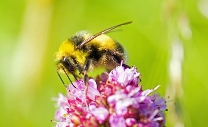 White-tailed bumblebee (Bombus lucorum) showing an empty pollen basket