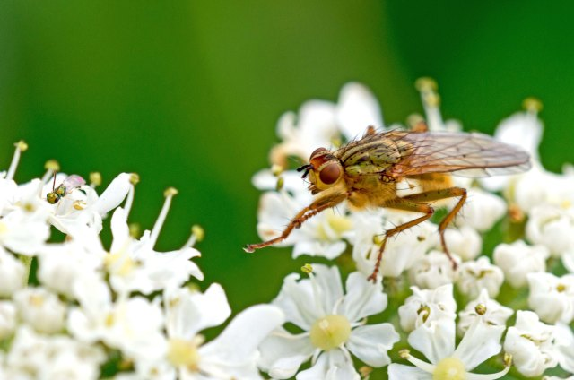 Yellow Dung Fly - Scathophaga stercoraria (right) and tiny green wasp (far left) on umbel