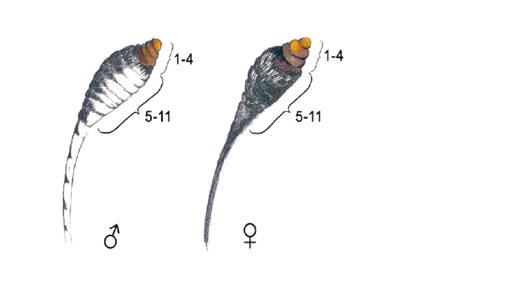 Fig. 2 from Friberg et al, 2007. Schematic picture of a male and female Leptidea antenna. (Illustration: Moa Lönn). Springer Press.