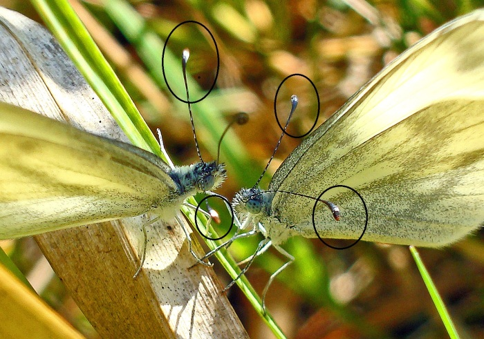 Wood white (Leptidea sinapis) butterflies courting; with antennal tips highlighted. Male on the left.