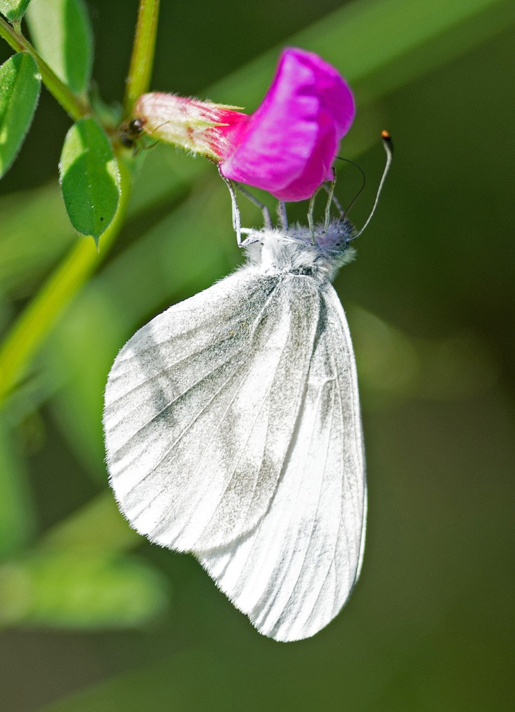 Wood white (Leptidea sinapis) on nectaring on Common vetch in Galicia, Spain